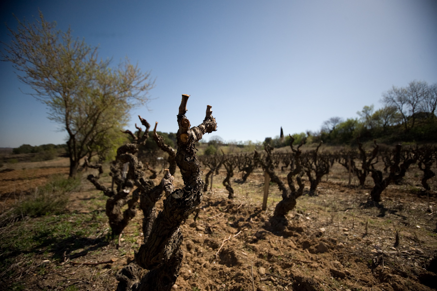 The oldest root stock, being more than 100 years old, stands bare in the spring sun in the small southern French village of Douzens, March 21, 2009. /© Cody Williams.